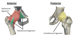 The Hip Joint - X Ray View