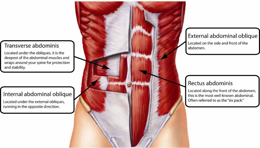 The Muscles of the Abdomen